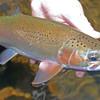 a beautifully marked thredbo rainbow