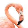 Flamingo portrait on white background