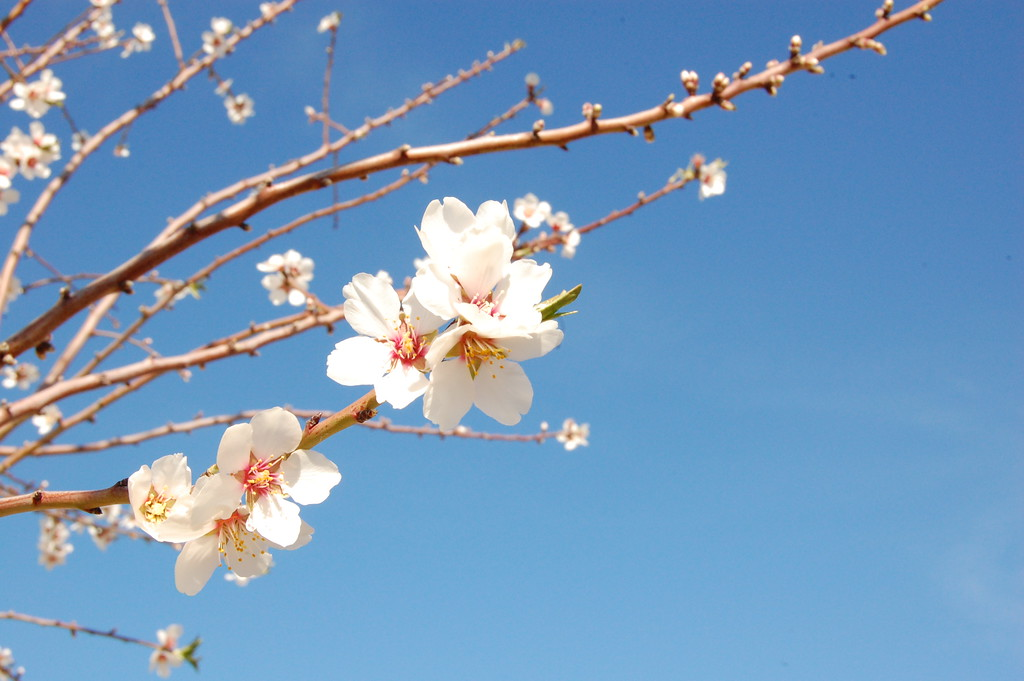 . JENICE TUPOLO - DAILY DEMOCRAT Almond orchards throughout Yolo County are blooming beautifully, just in time for the 103rd Annual Capay Valley Almond Festival this Sunday.
