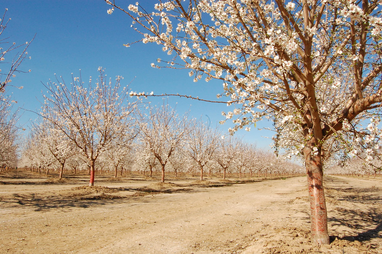 JENICE TUPOLO - DAILY DEMOCRAT Almond orchards throughout Yolo County are blooming beautifully, just in time for the 103rd Annual Capay Valley Almond Festival this Sunday.