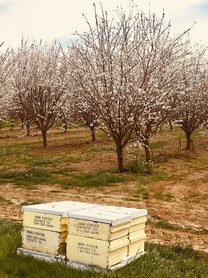 JIM SMITH - DAILY DEMOCRAT Almond orchards throughout Yolo County are blooming beautifully, just in time for the 103rd Annual Capay Valley Almond Festival this Sunday.