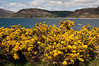 June 25 2012 Gorse, Glenelg, Scotland<br /> <br /> Best seen at large scales.<br /> Gorse is a thorney evergreen bush. In the UK it is widespread and you can see whole hillsides covered in it's bright yellow flowers.