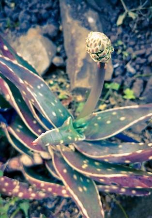 Aloe arenicola