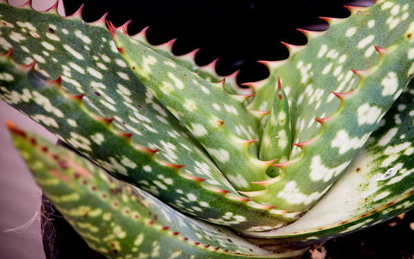 Aloe burgersfortensis