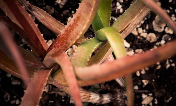 Aloe capitata var. gneissicola