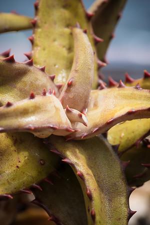 Aloe castilloniae