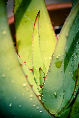Aloe elegans