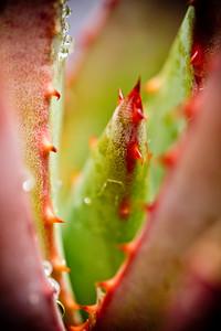 Aloe falcata