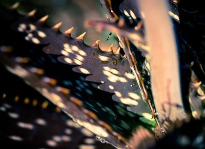 Aloe greenii