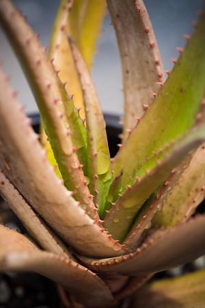 Aloe lutescens