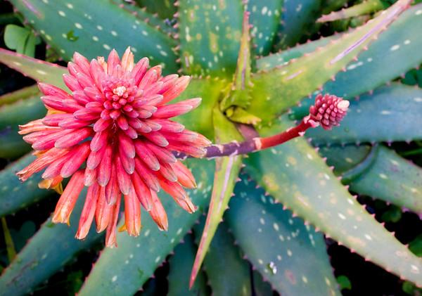 Aloe 'Rooikappie'