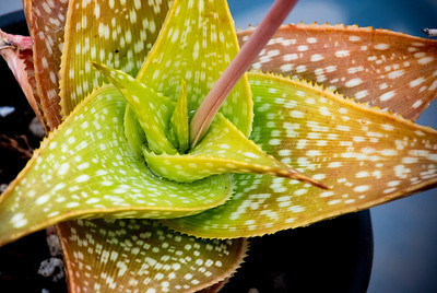Aloe ruffingiana