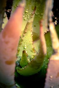 Aloe vacillans