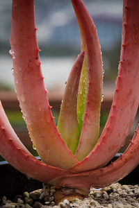 Aloe vryheidensis