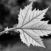 Fresh summer leaf of an oriental plane (b/w)