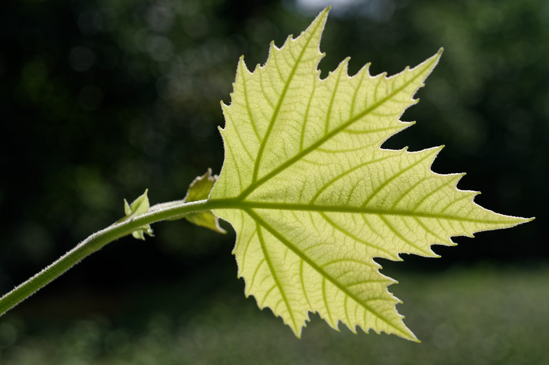 Fresh summer leaf of an oriental plane