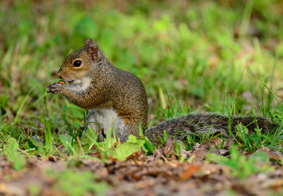 Squirrel having breakfast at the Gilf Island National Seashore Parl in Ocean Springs, Ms.