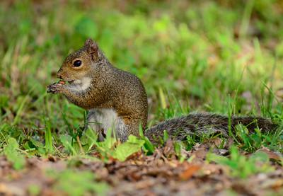 Squirrel having breakfast at the Gilf Island National Seashore Parl in Ocean Springs, Ms.