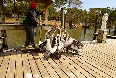 Ocean Springs Harbor. So mant pelicans and only one piece of fish!