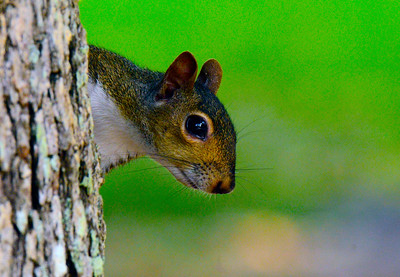 Squirrel playing peak a boo with the camera.