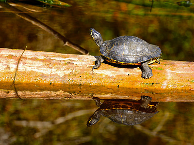 Turtle with a great reflection.