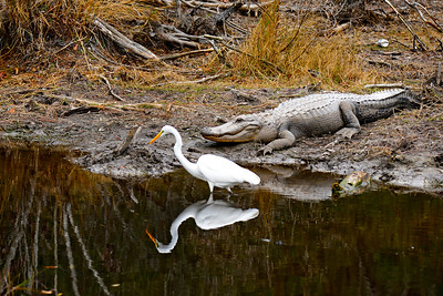 Great Egret pressing it's luck with the alligator.