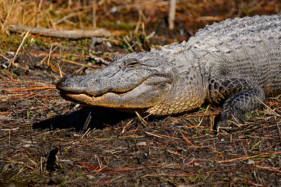 Alligator posing for a picture.