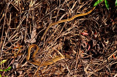 Ribbon snakes.