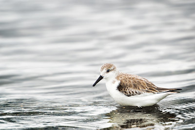 Sanderling Standing in Water