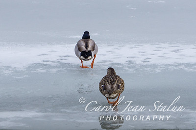 Two mallards walk on the ice at Dyke Marsh in Alexandria, VA on February 27, 2015.