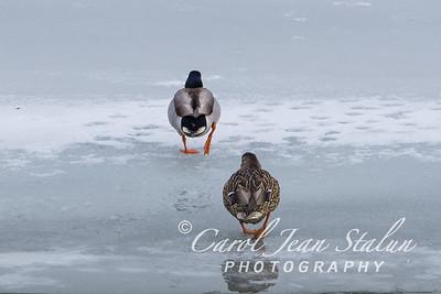 Two mallards walk on the ice at Dyke Marsh in Alexandria, VA on February 27, 2015.