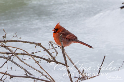 Male Cardinal at Theodore Roosevelt Island in Washington, DC, on February 18, 2015.