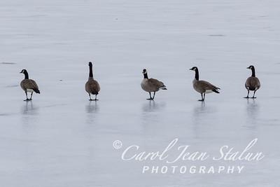 Geese walk across the ice at Dyke Marsh in Alexandria, VA on February 25, 2015.