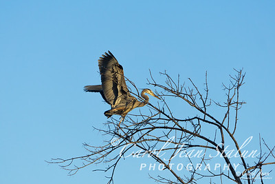 A Great Blue Heron lands in a tree at Dyke Marsh in Alexandria, VA on February 11, 2015.