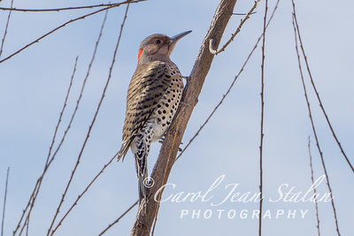 Northern Flicker Woodpecker on February 17, 2015 at Jones Point Park in Alexandria, VA
