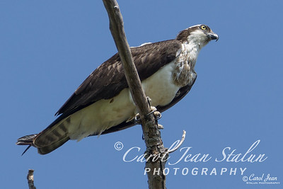 This Osprey was watching over his nest near Dyke Marsh in Alexandria, VA on April 13, 2015.