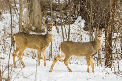Two deer were sighted on February 18, 2015 at Theodore Roosevelt Island in Washington, DC.
