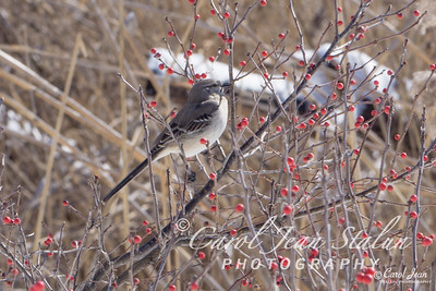 This Northern Mockingbird was spotted eating berries at Jones Point Park in Alexandria, VA on February 17, 2015.