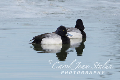 Two Lesser Scaup migrate to Dyke Marsh in Alexandria, VA on February 25, 2015.