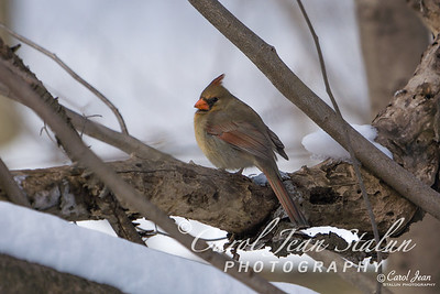 Female Cardinal at Theodore Roosevelt Island in Washington, DC, on February 18, 2015.