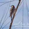 Northern Flicker Woodpecker on February 17, 2017 at Jones Point Park