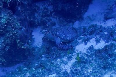 Ciesla -GOPR1418 Tues Turtle-0001