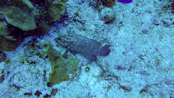 Ciesla -GOPR1414 Mon Spotted Fish