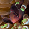 Female spine-cheeked clownfish