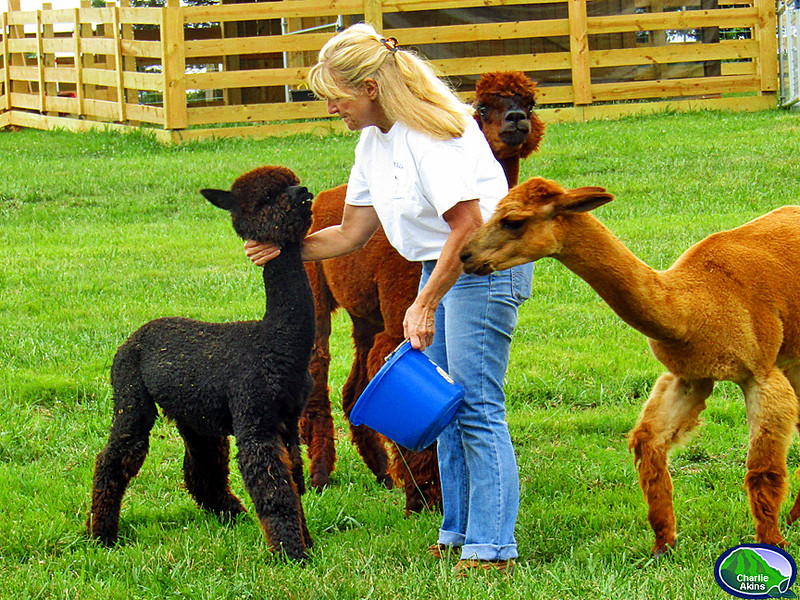 Robin feeds the alpacas