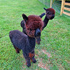These are baby alpacas.