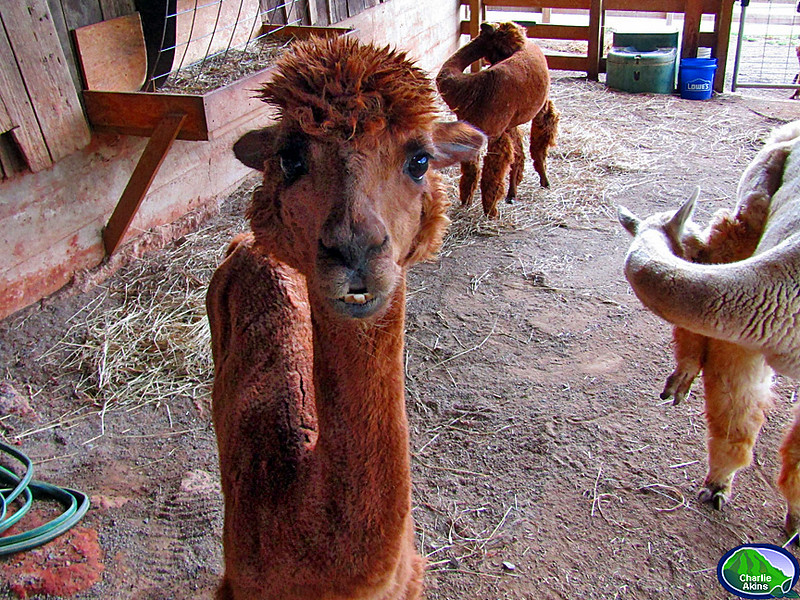 Look at the necks on these alpacas.