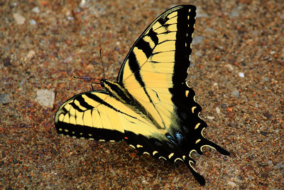 Eastern Tiger Swallowtail - This Butterfly prefers Concrete!