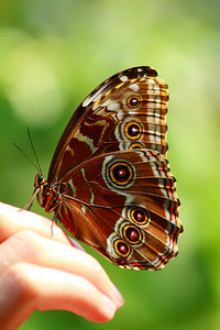 A 'Buckeye' (Junonia coenia) - Preparing to take flight at the 'Franklin Park Conservatory'!