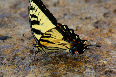 On the Road - with an Eastern Tiger Swallowtail (male)!